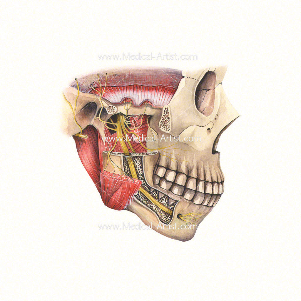 Watercolour medical illustration