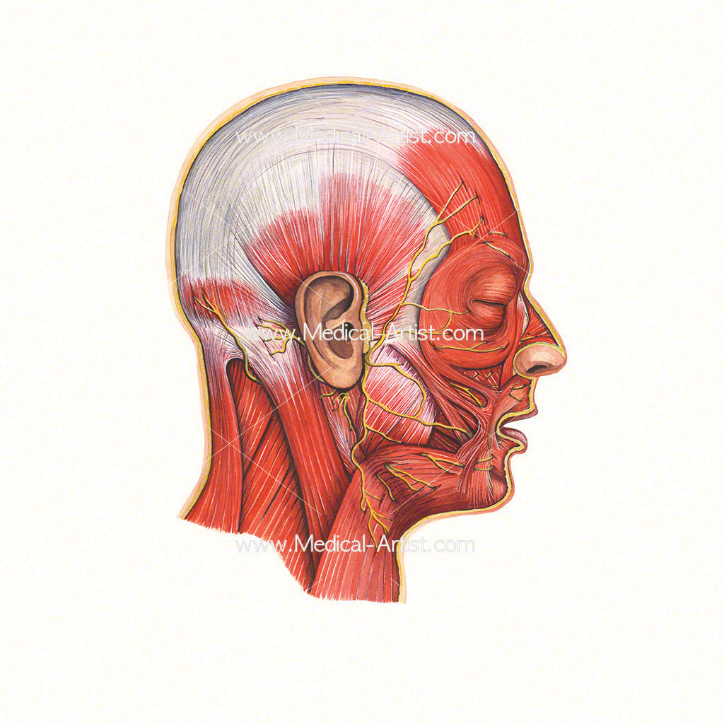 Watercolour medical illustration