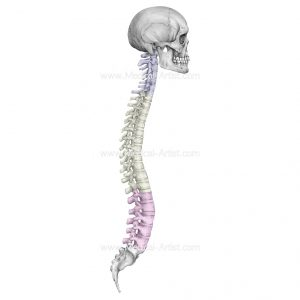 pencil medical drawing of the spine