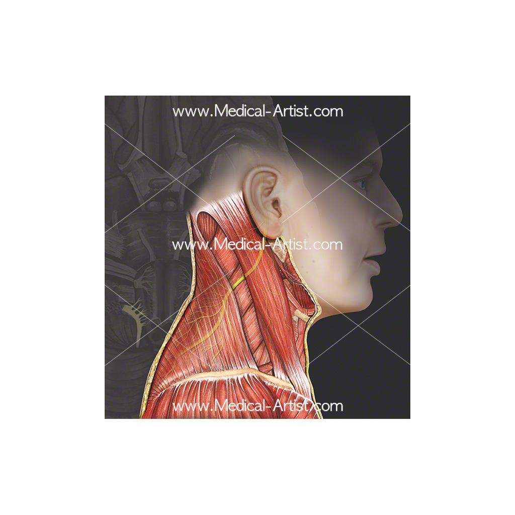 Cranial nerve 11