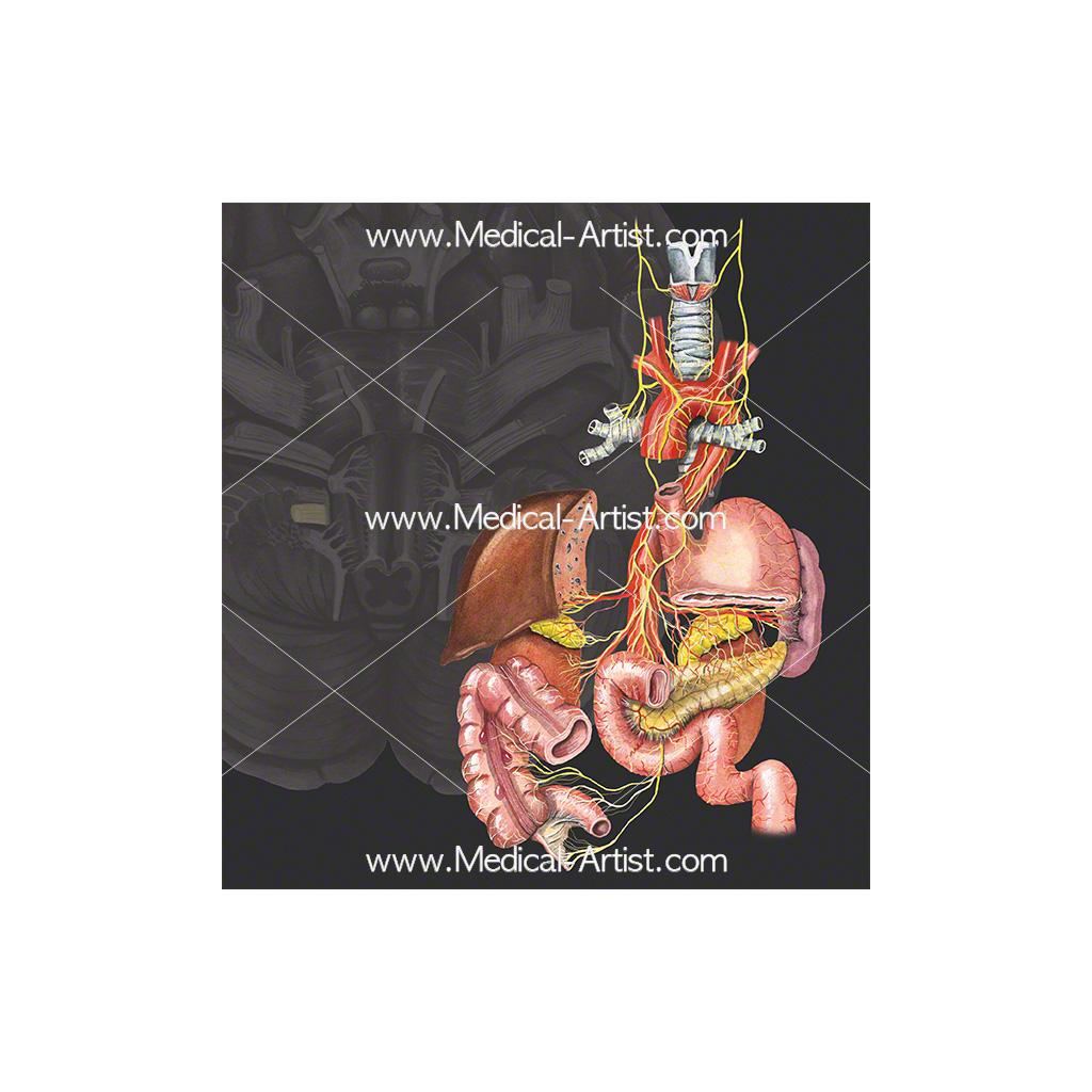 Cranial nerve 10