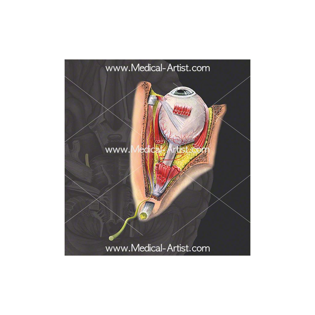 Cranial nerve 4