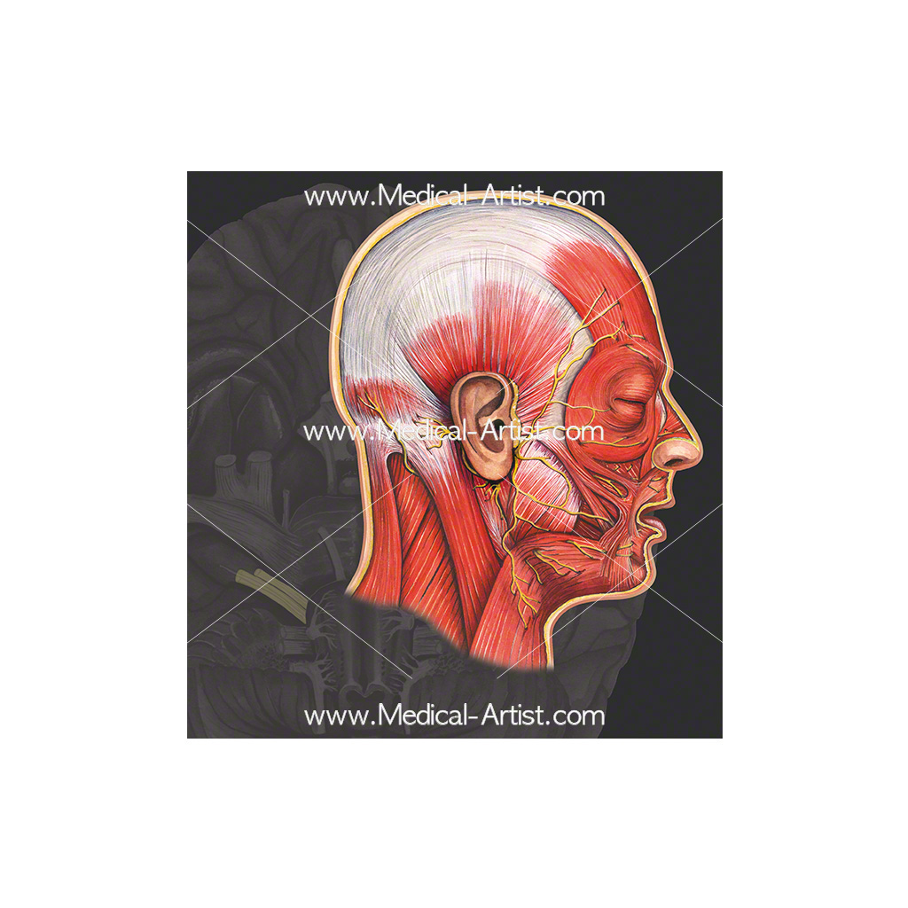 Cranial nerve 7