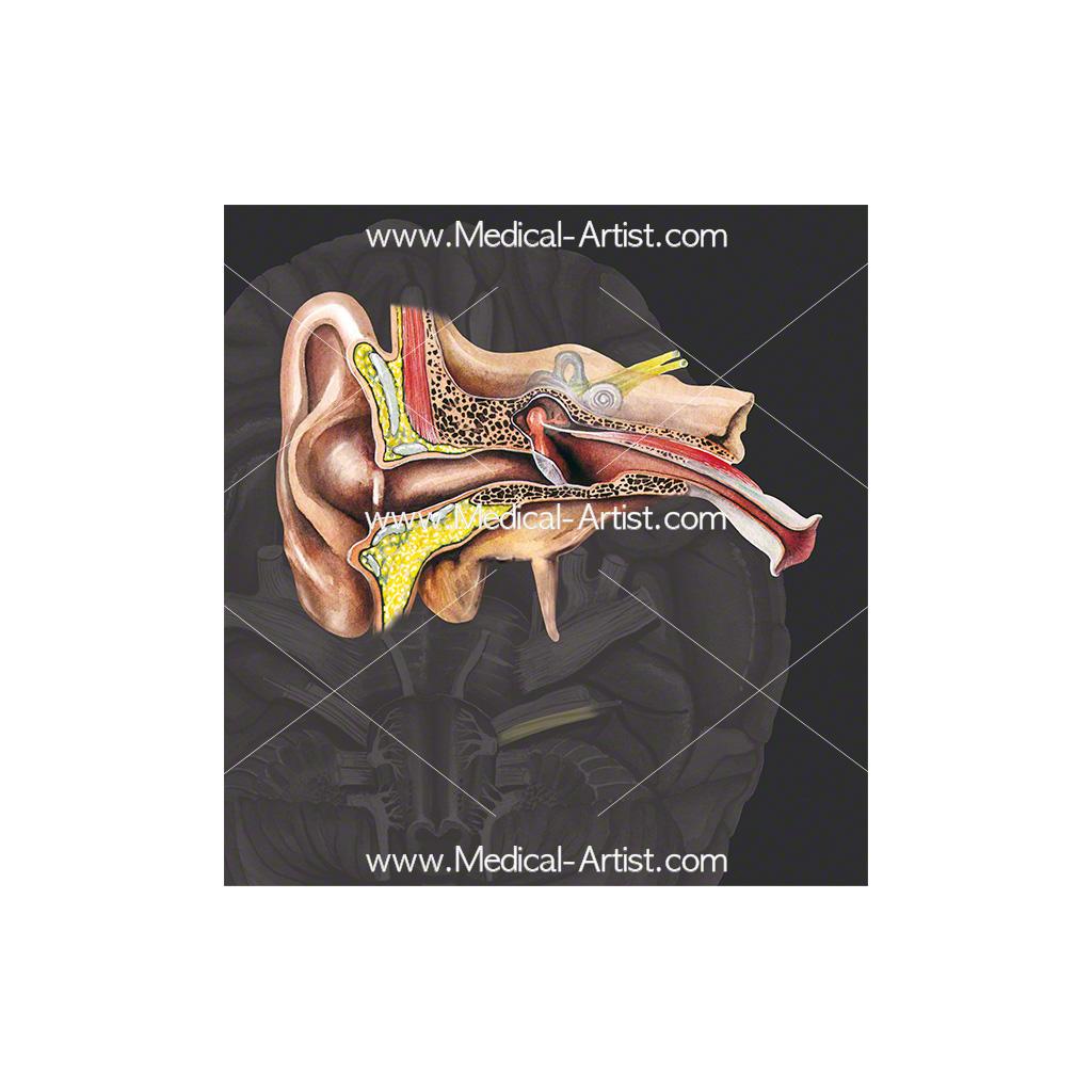 Cranial nerve 8