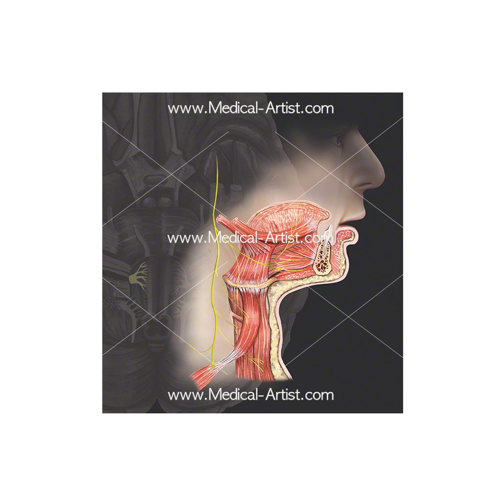 Cranial nerve 12