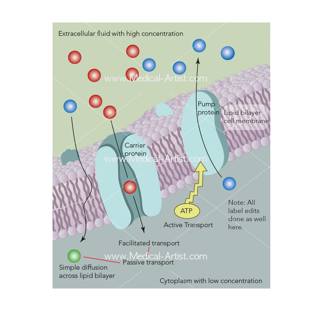 Mechanisms for movement across the cell membrane
