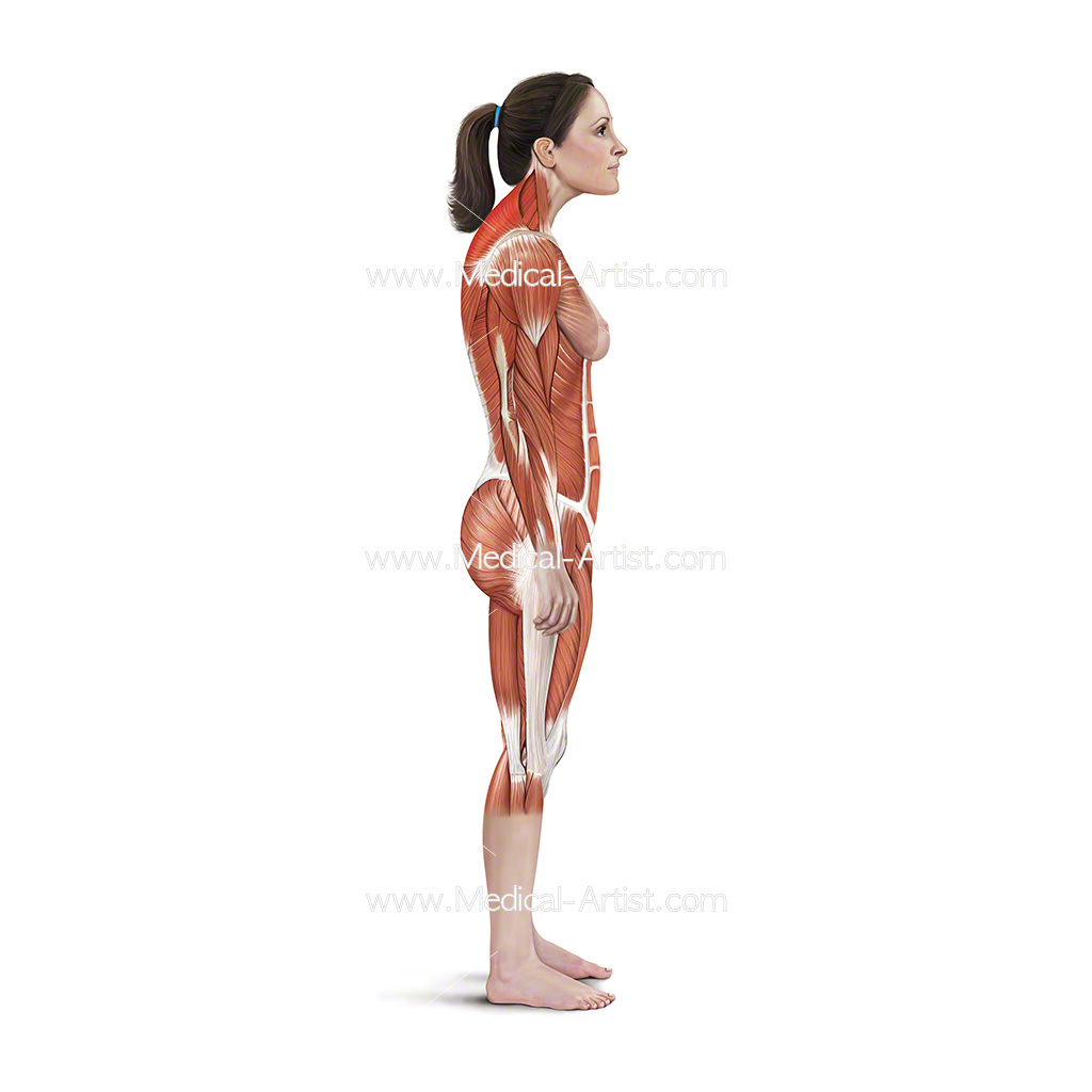 Medical illustration showing neck protraction stretch