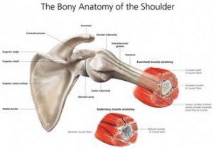 Bony anatomy of the shoulder created n Photoshop