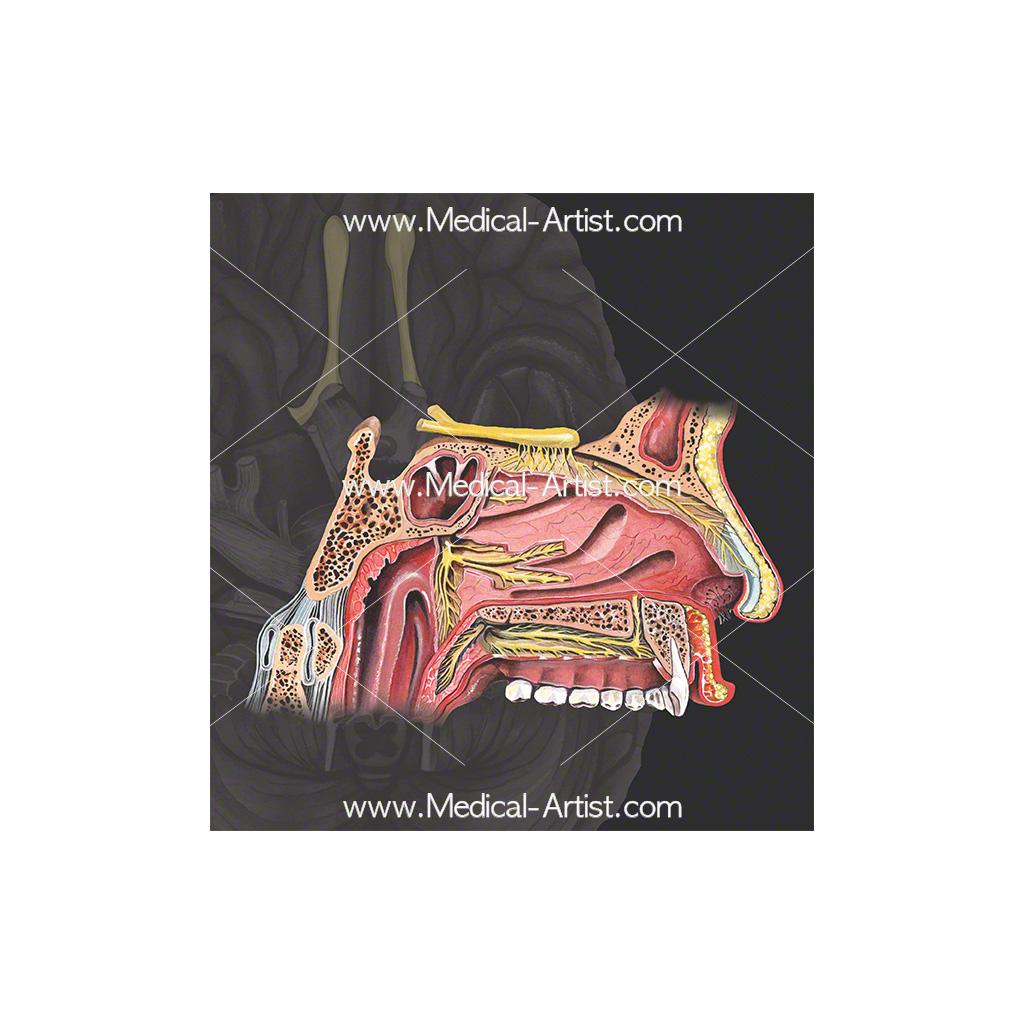 Cranial nerve 1