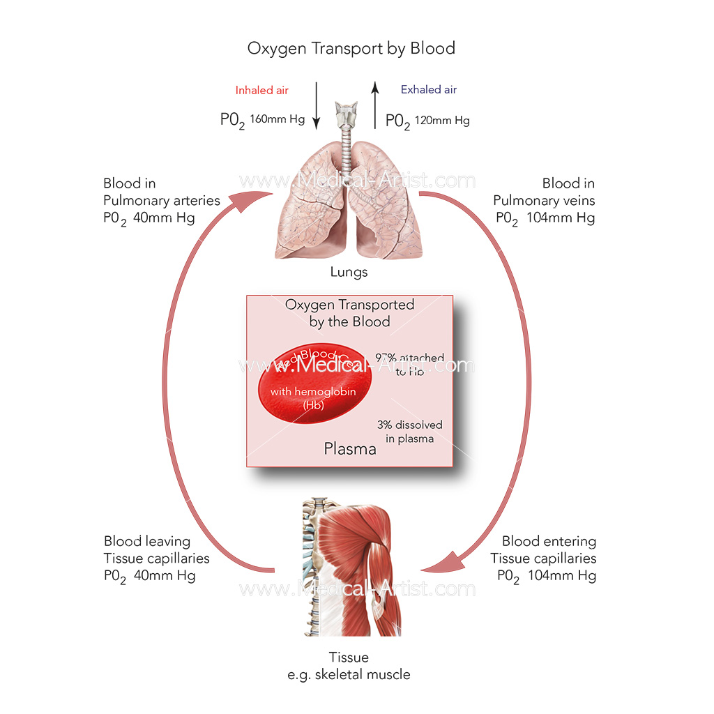 Oxygen transport by blood diagram