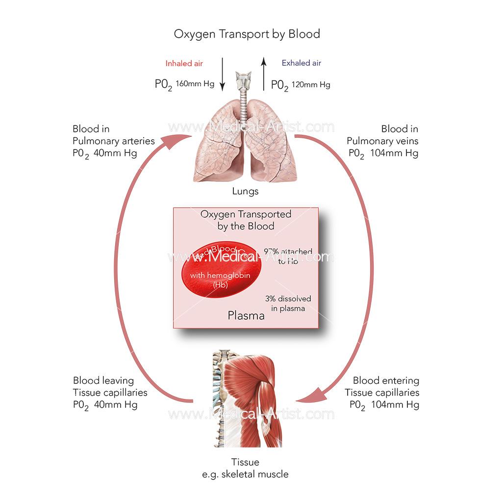 Oxygen transport by blood diagram