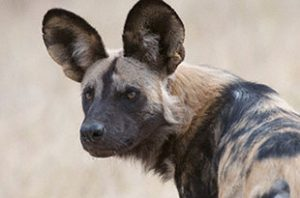 painted dog portrait by dog conservation