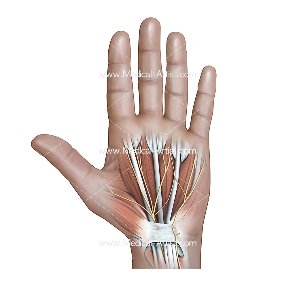 Muscle, nerves, tendons of the hand palmer view