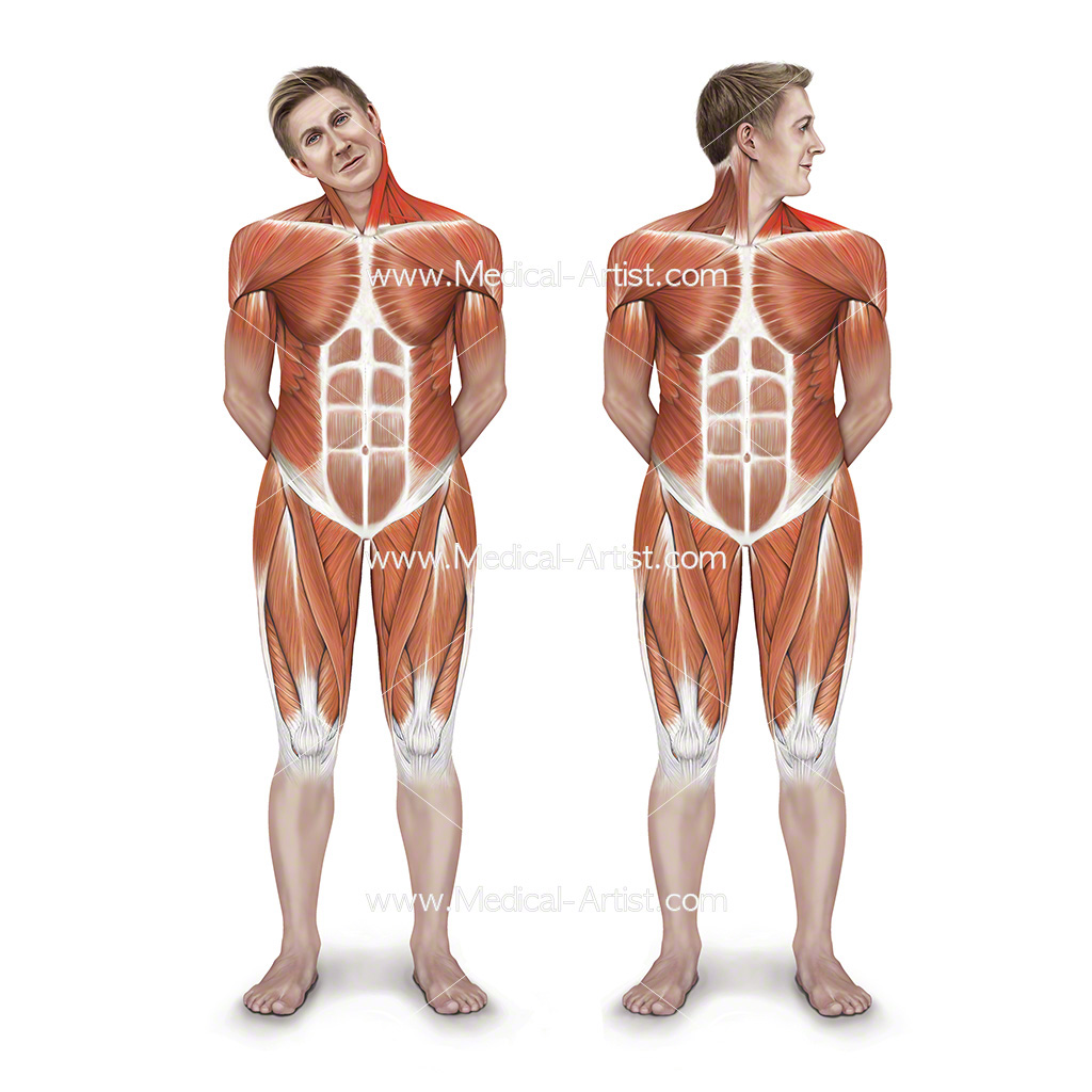 Medical illustration of muscle anatomy during stretching