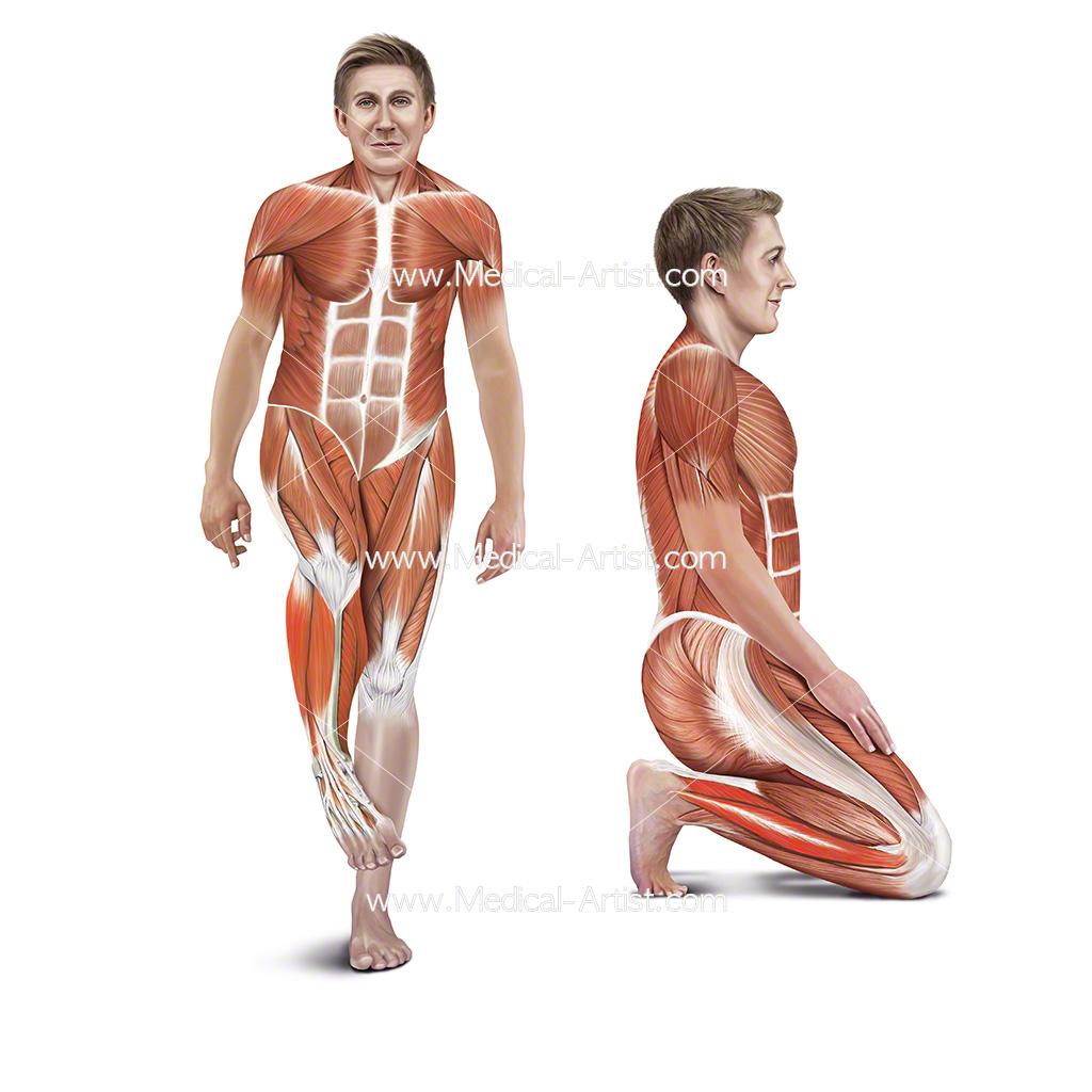 The Students Anatomy Of Stretching Manual Medical Artist Portfolio