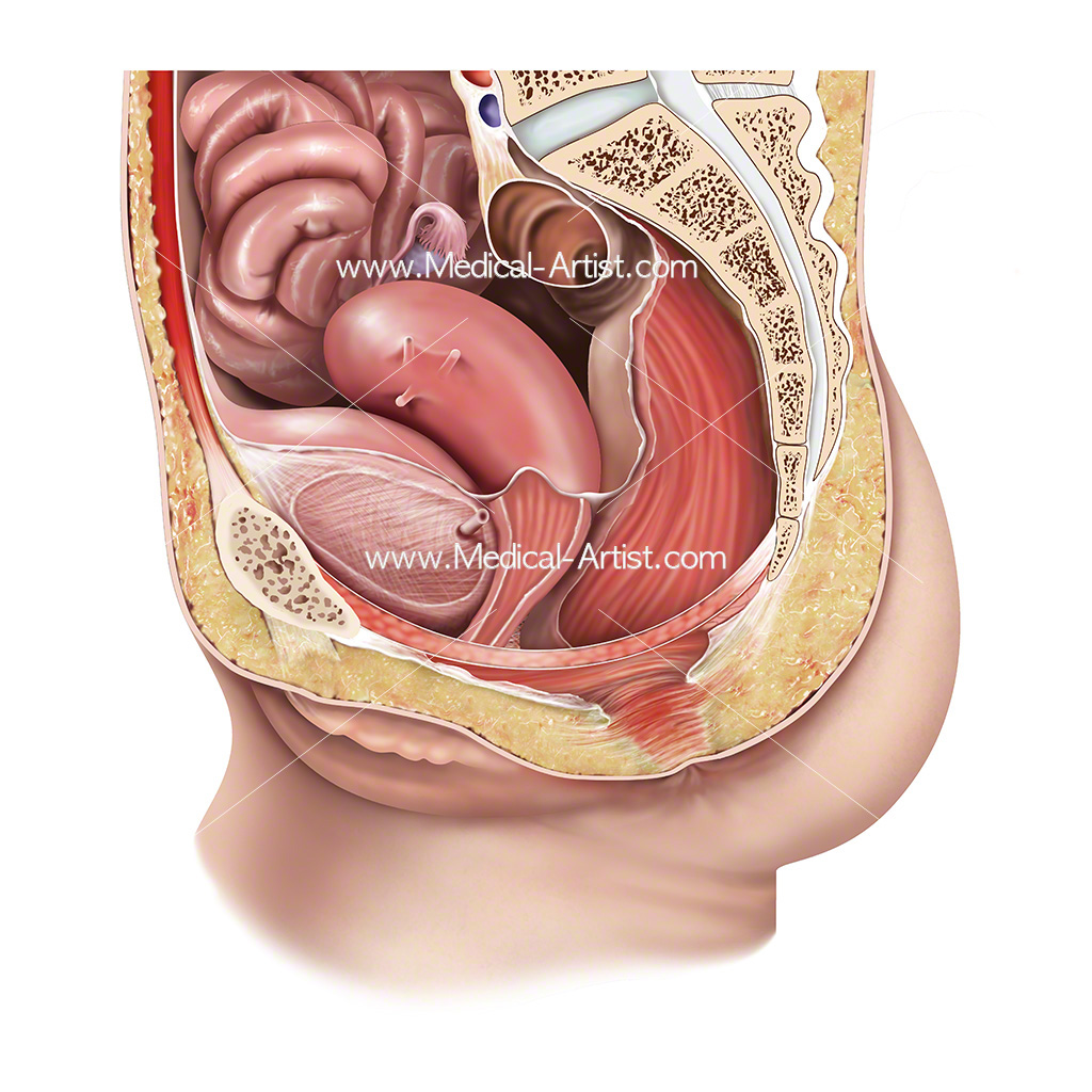 Female reproductive anatomy and pelvic floor anatomy