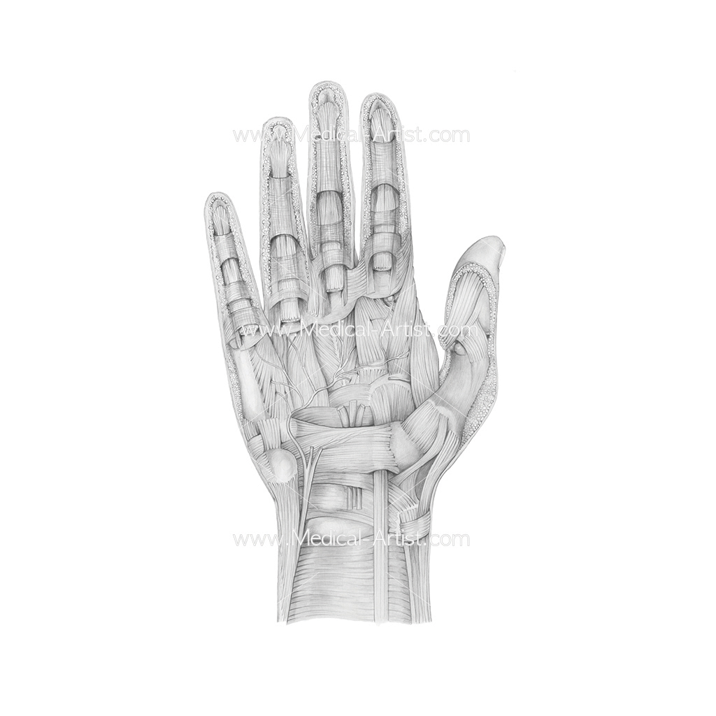 Pencil Medical Illustration | Graphite & Coloured Pencil Art Services
