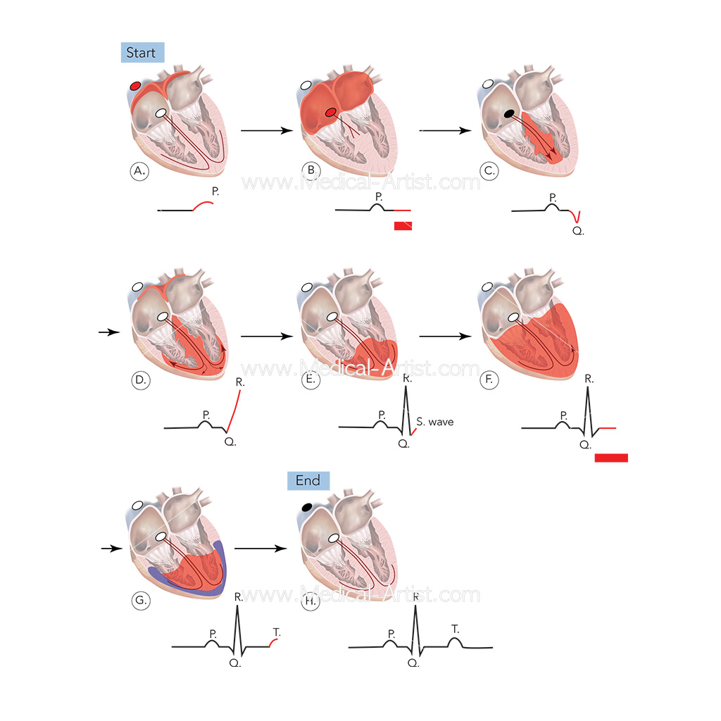 Electrocardiograms (ECG's). Diagram of the electrical events in the cardiac cycle and the ECG