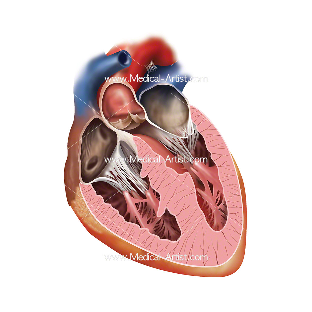 Heart cross section anatomy