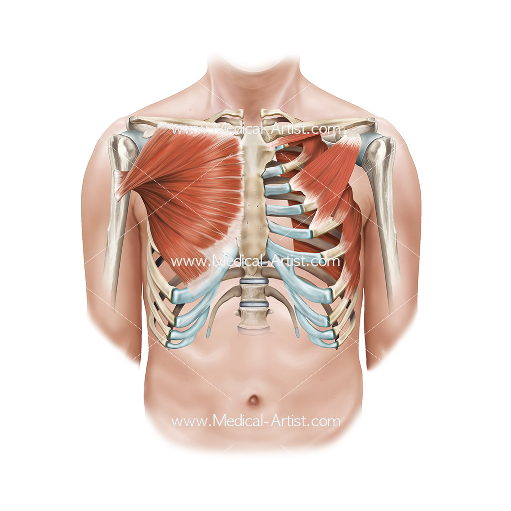 Muscle anatomy including pectoralis major and minor