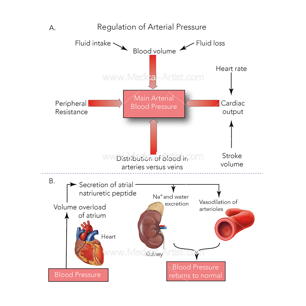 Regulation of arterial pressure diagram