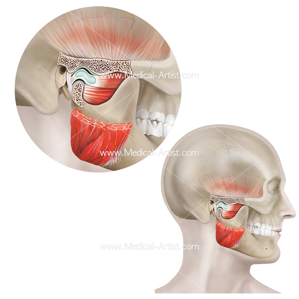 The temporomandibular joint in cross section