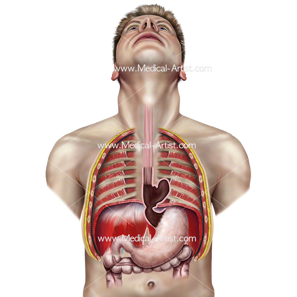 Abdomen Illustrations Visualisations Of Human Anatomy