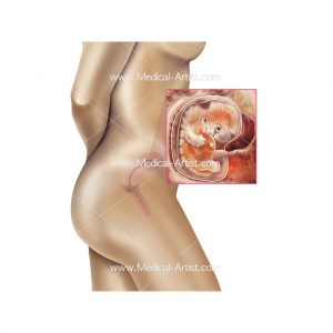 Medical illustration of week 6 foetus development