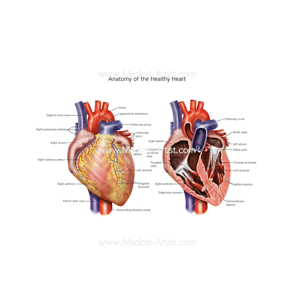 Anatomy of the health heart