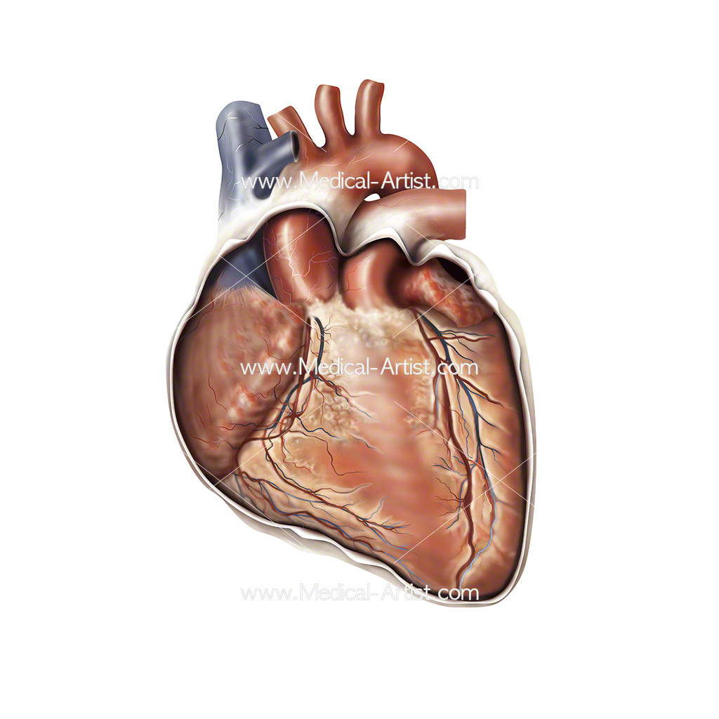 Heart Medical Illustrations Heart Anatomy Human Heart Anatomy