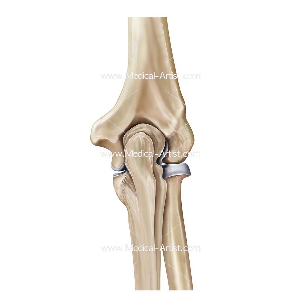 Elbow joint posterior view