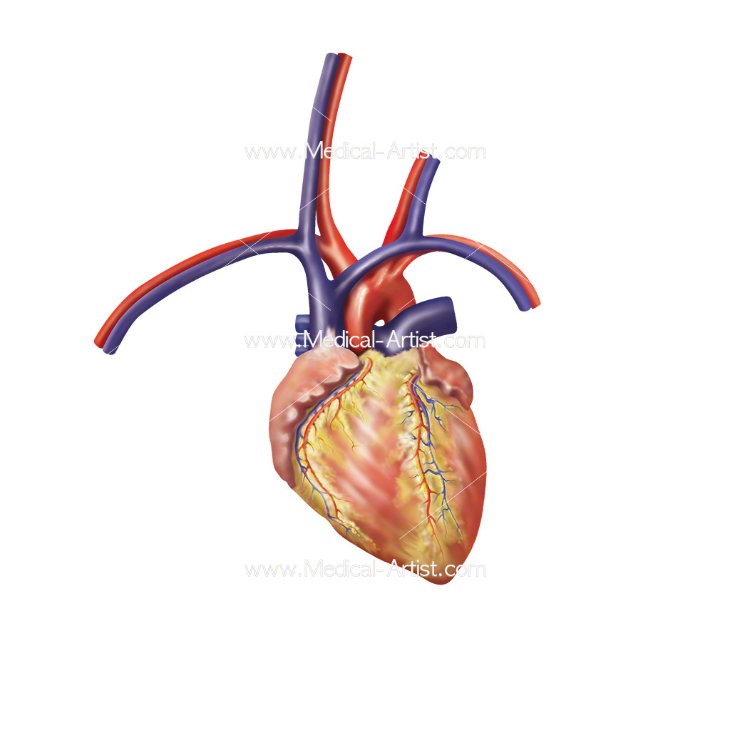 Anatomy of the heart and thoracic vessels