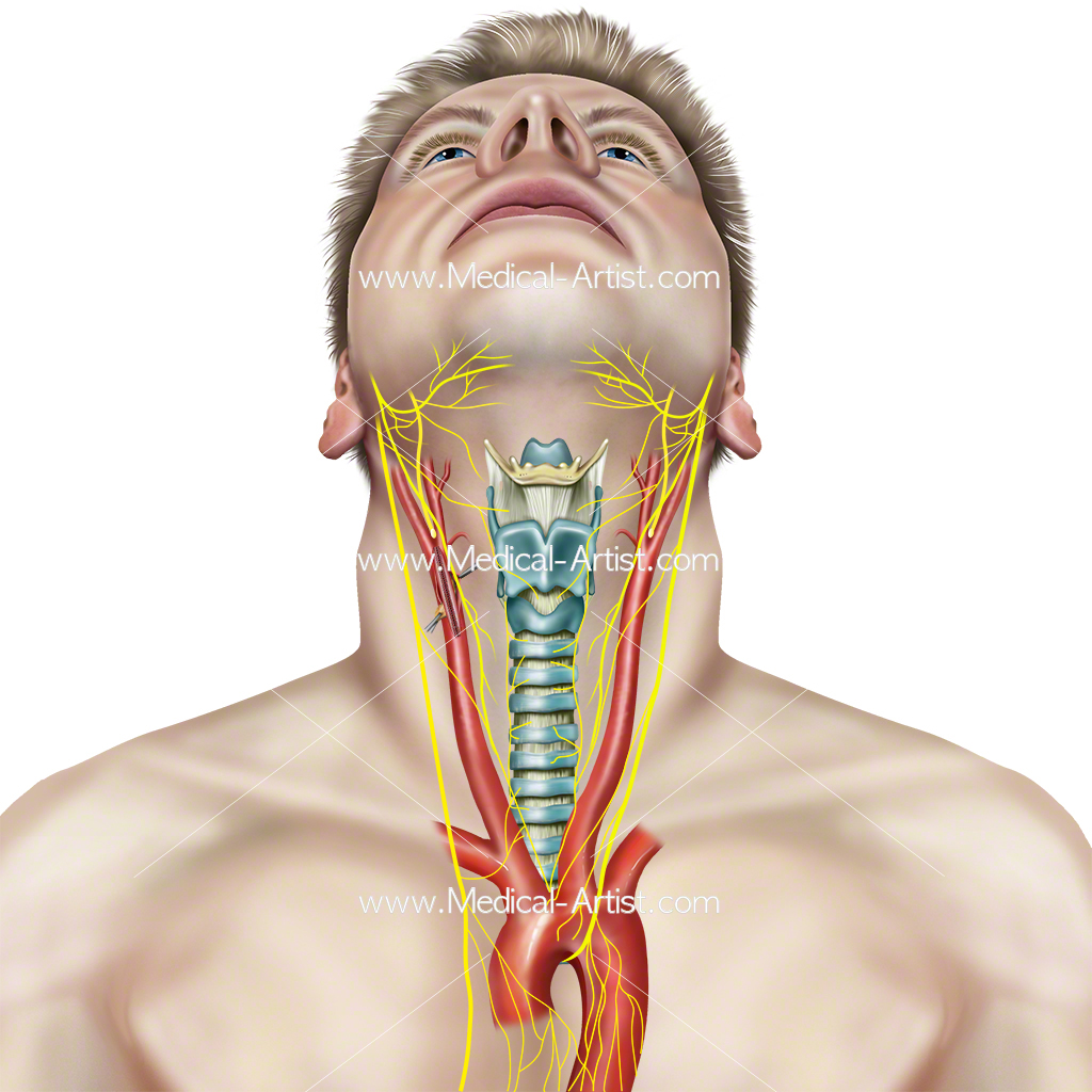 Throat and Mouth Anatomy Images | Human Anatomy