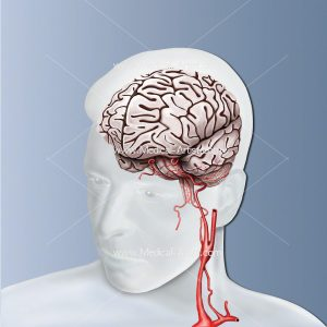 Human brain and carotid artery anatomy