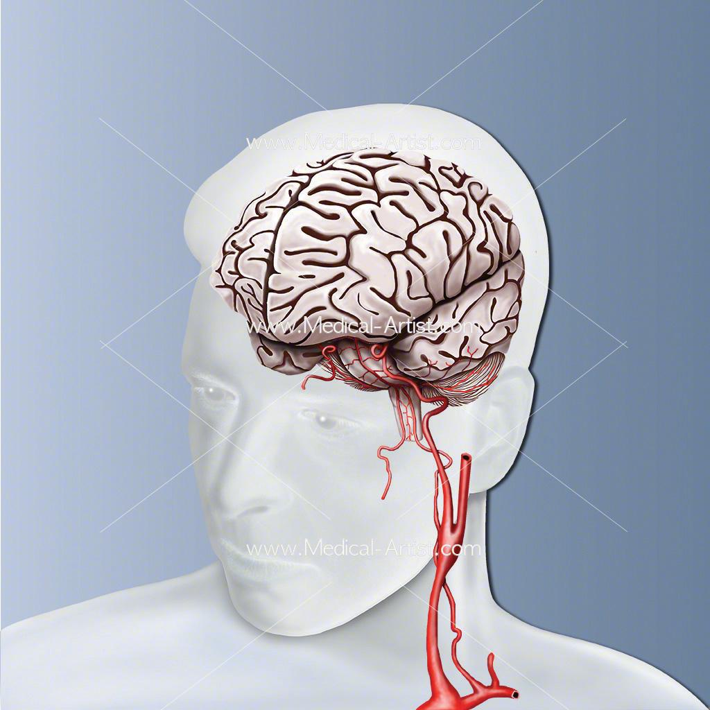 Human brain and carotid artery anatomy
