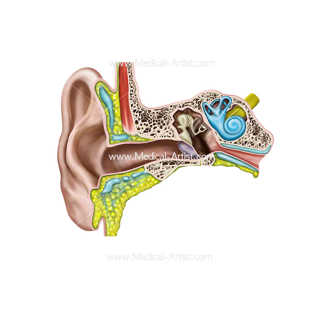 Ear Illustrations | Ear Anatomy Images | Human ear Anatomy