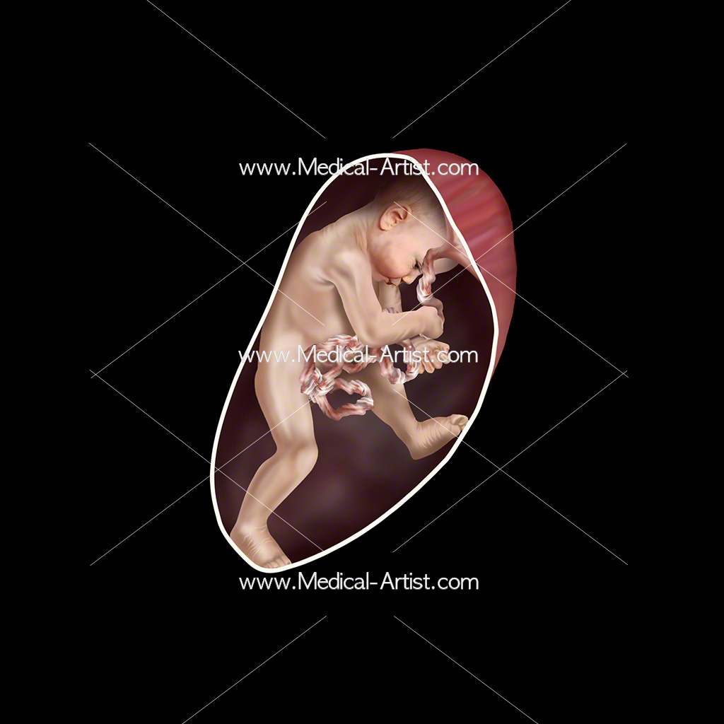 Medical illustration of week 25 foetus development