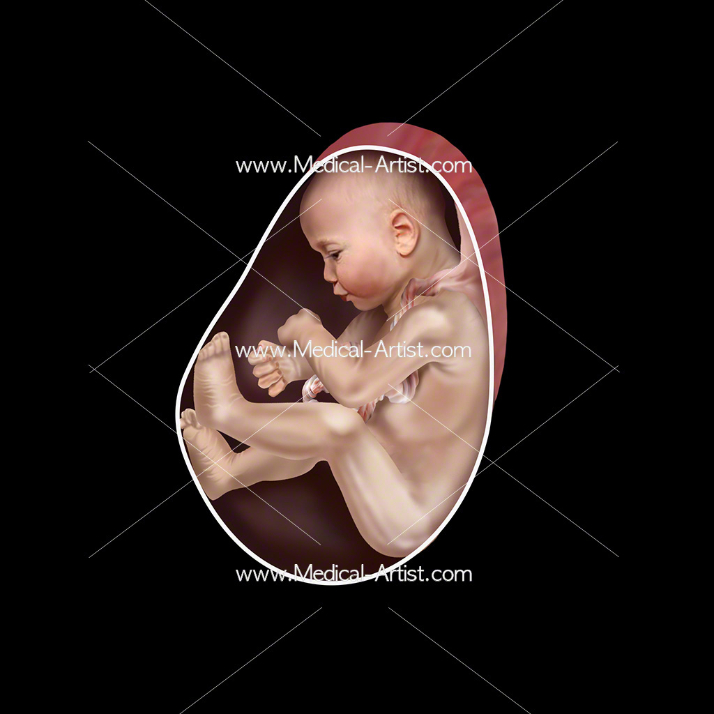 Medical illustration of week 26 foetus development
