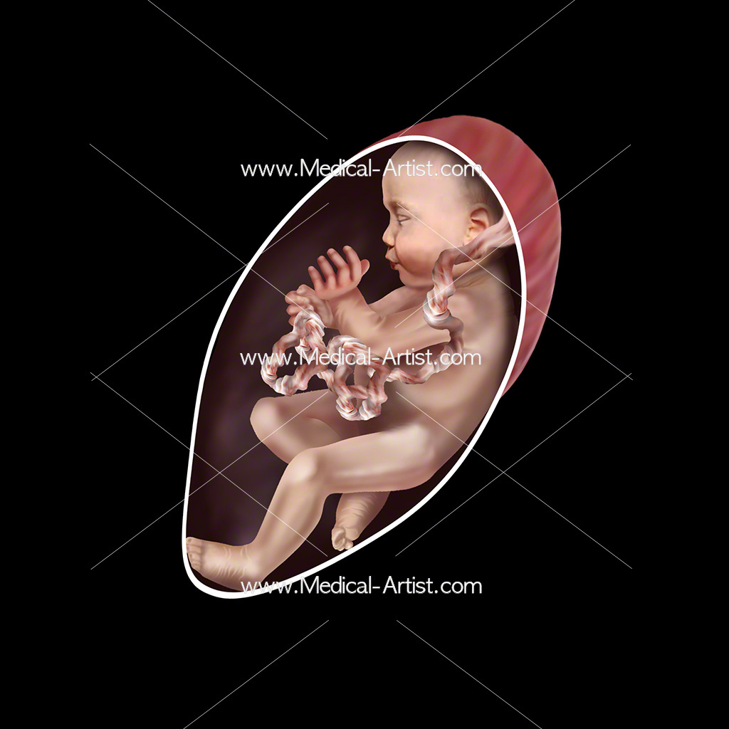Medical illustration of week 29 foetus development