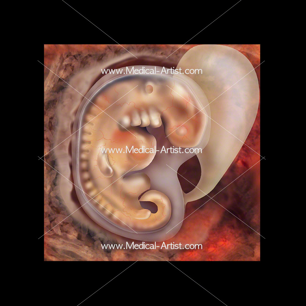 Medical illustration of week 4 foetus development