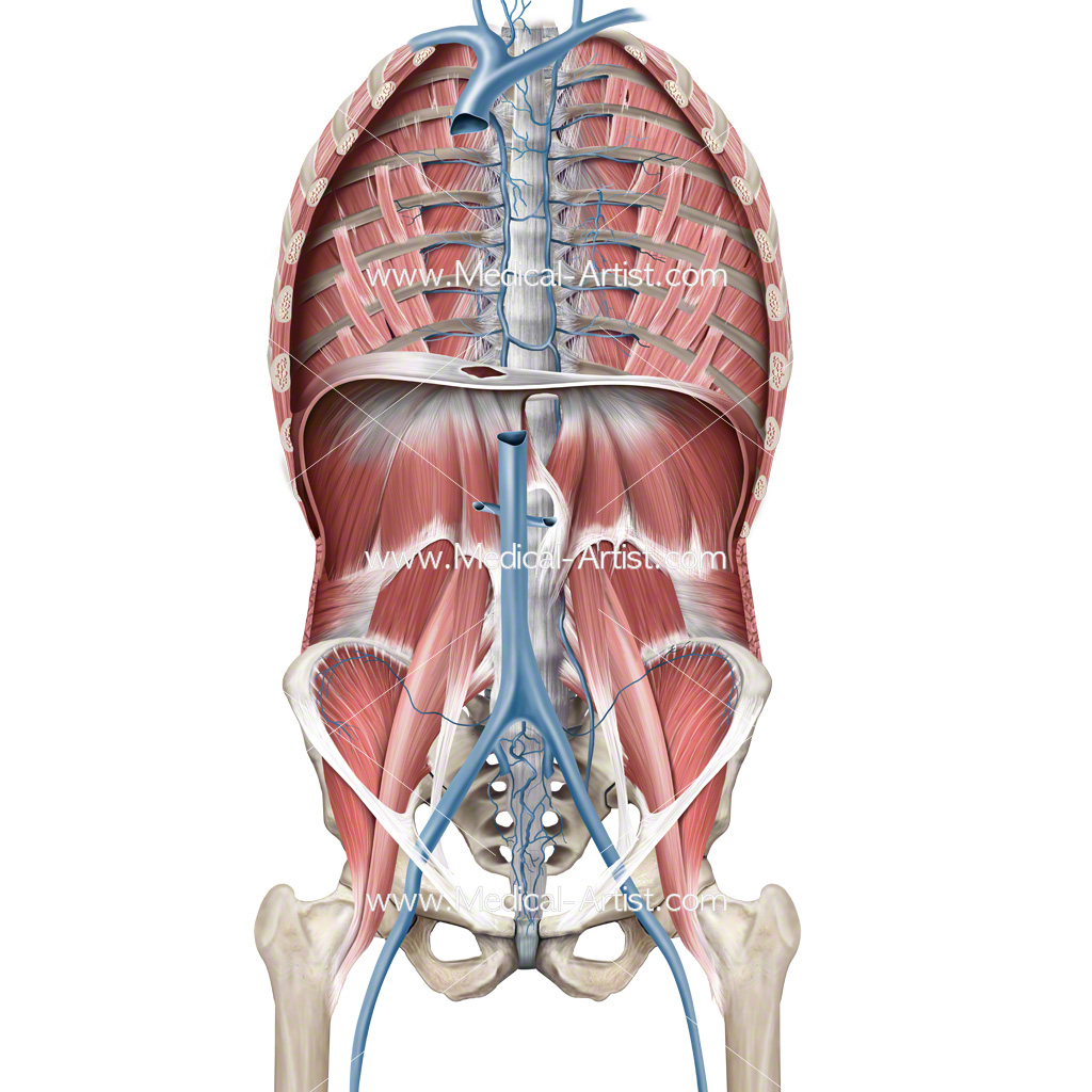 Anatomy of the muscles of the posterior wall