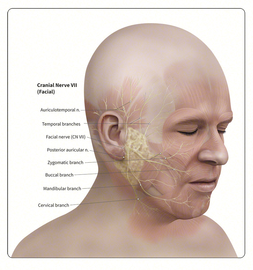 Anatomy Of The Head And Neck Human Anatomy Medical Illustration