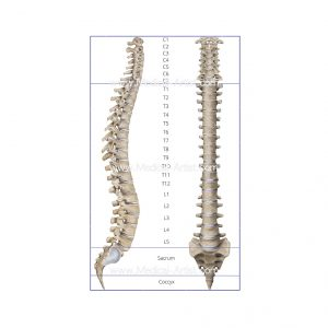 The vertebral column in lateral and anterior view