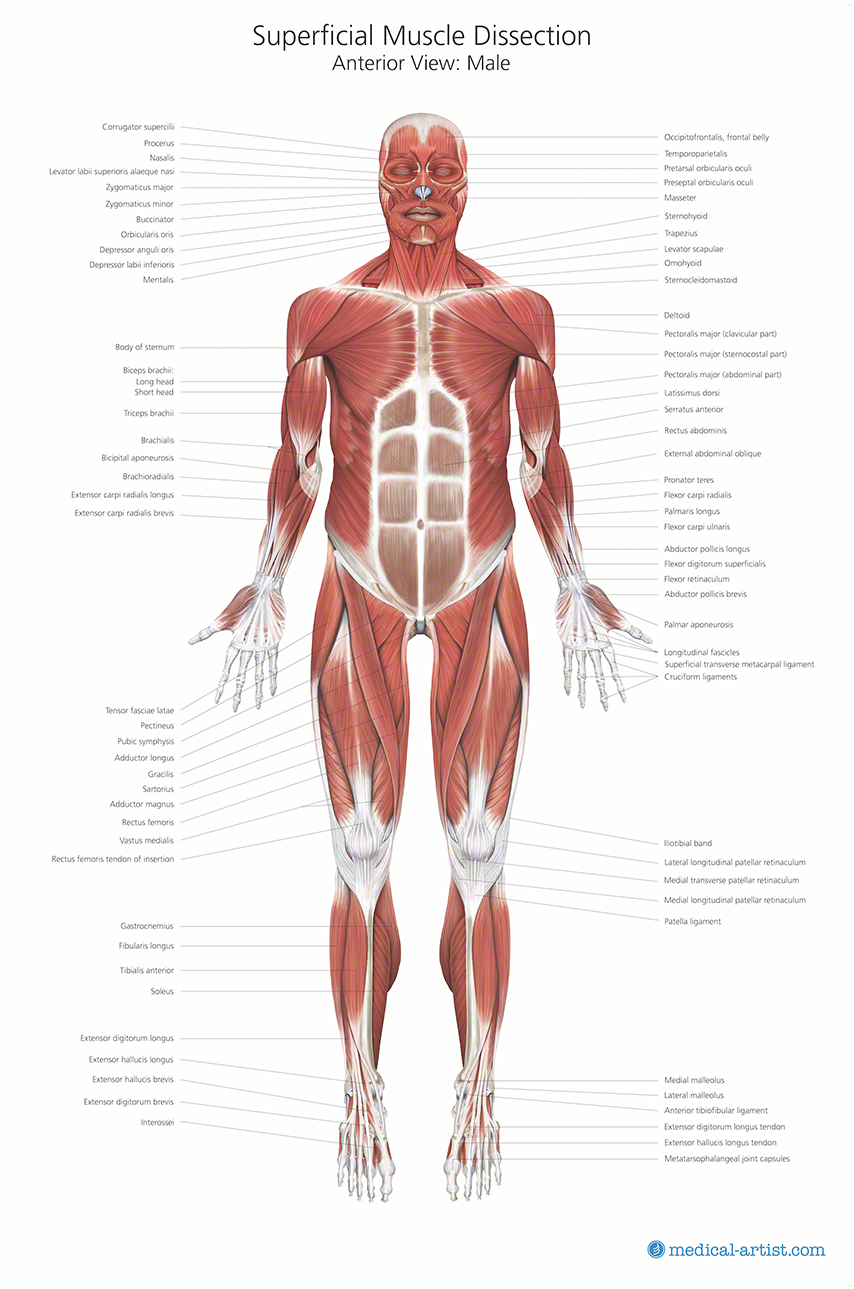 Muscle Anatomy Chart Medical Artist