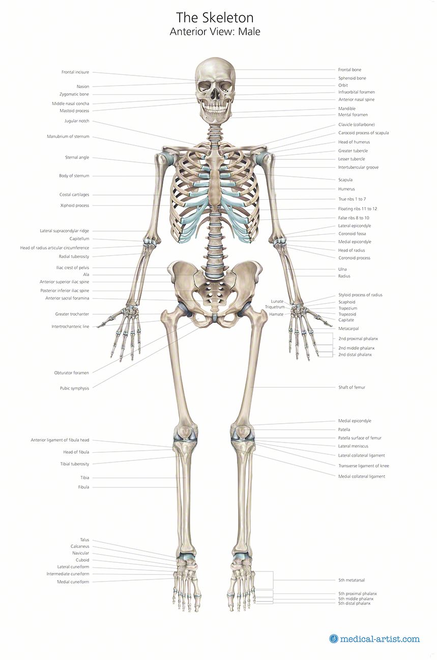 skeleton anatomy chart