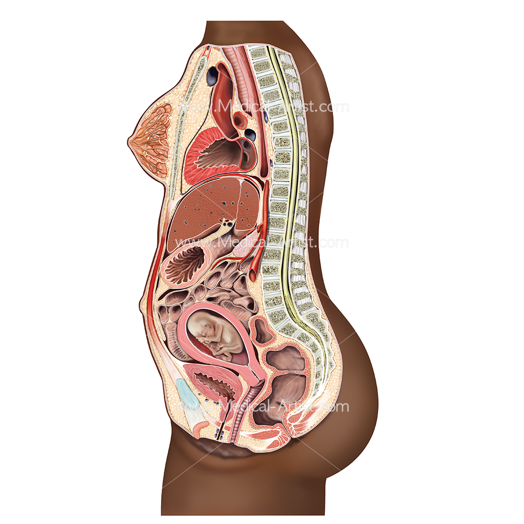 Pregnancy Illustrations | Visualisations of the Human Gestation Period