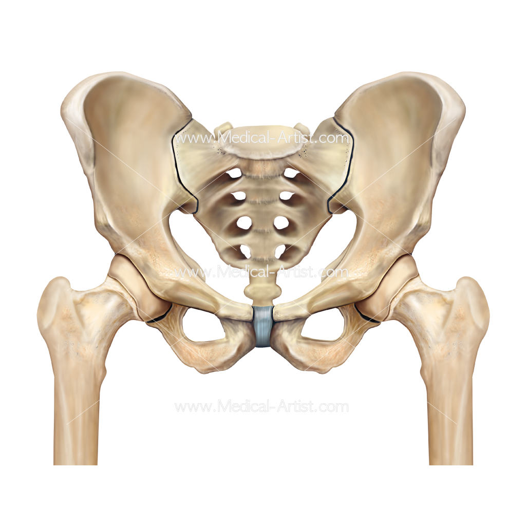 Hip Surgery Illustrations | Pelvis & Hip Anatomy | Medical Illustrations