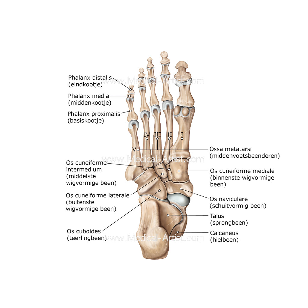 Bones Of The Foot Illustrations Foot Anatomy Illustrations