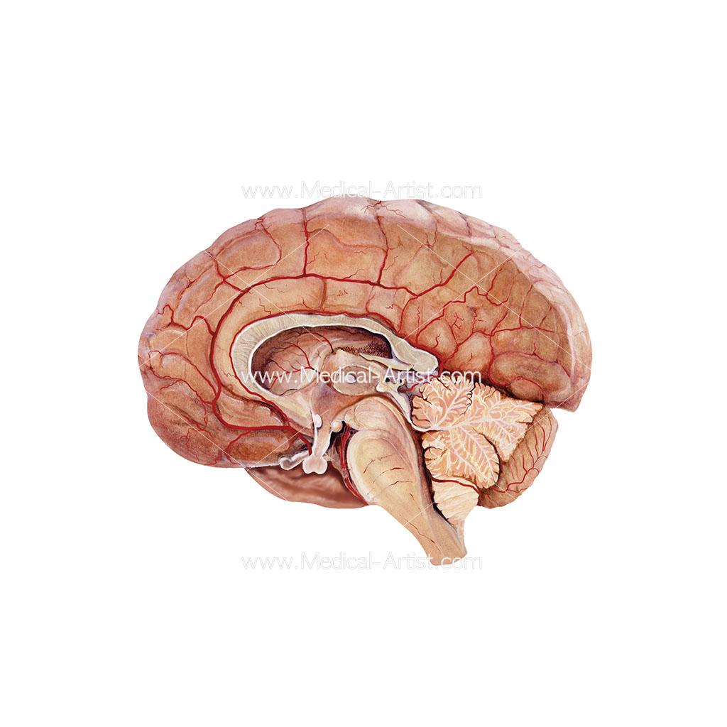 Brain in cross section