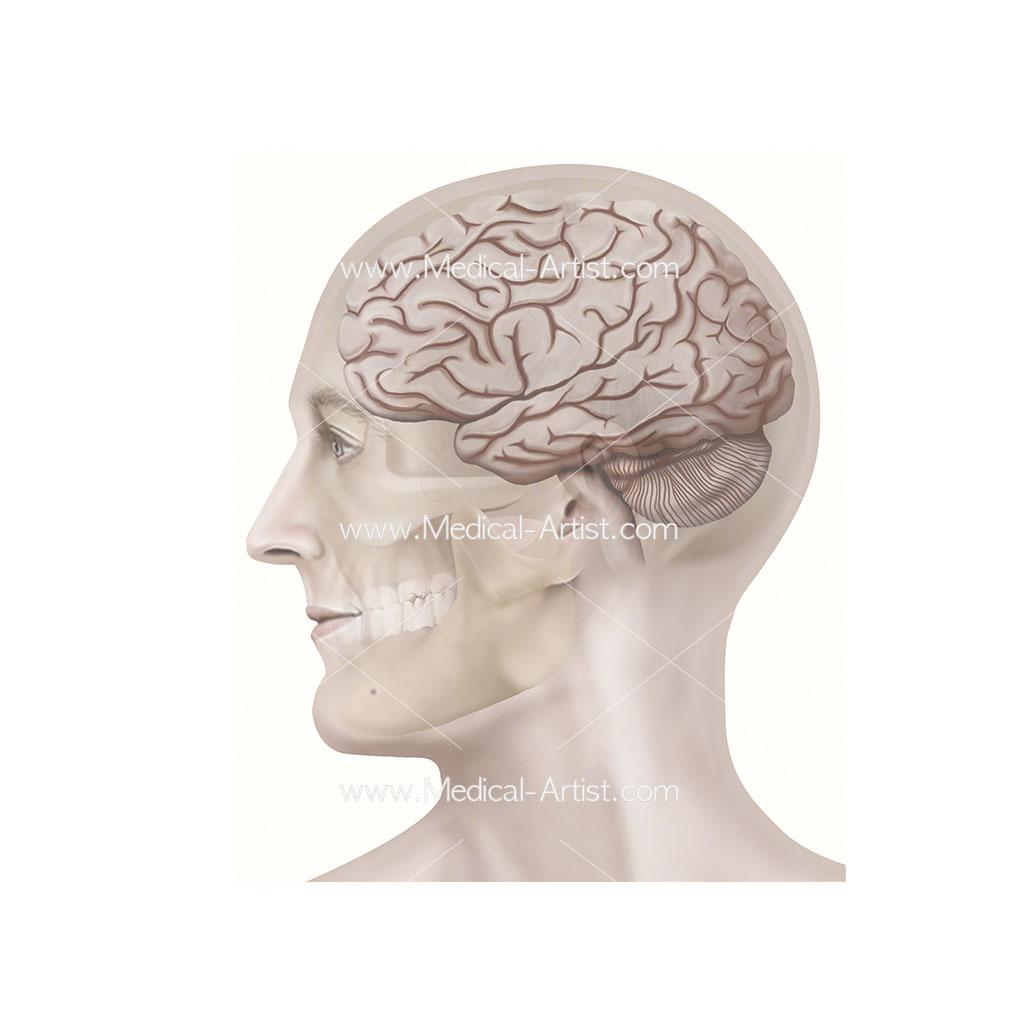 Skull brain anatomy